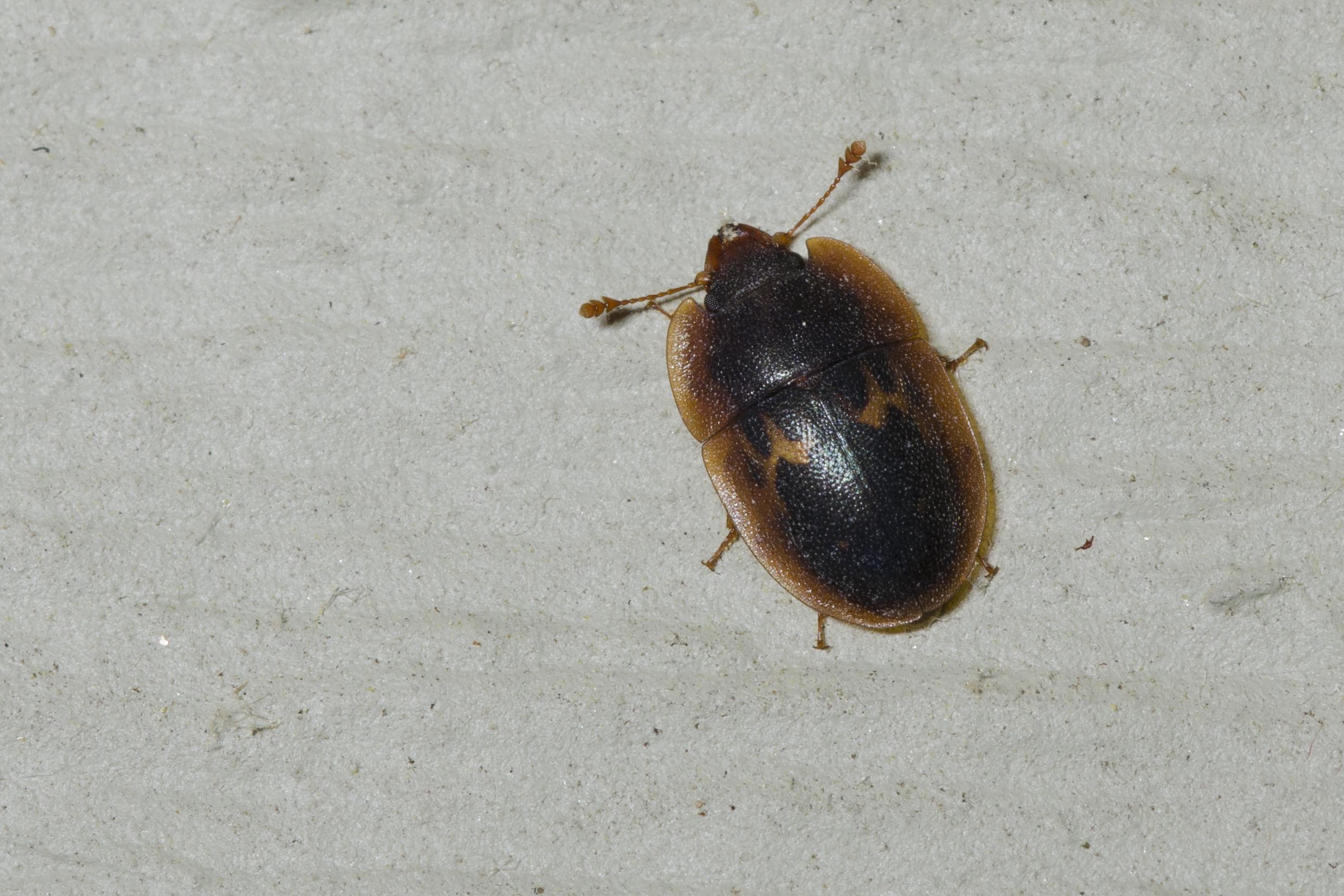 Image of <i>Prometopia sexmaculata</i> (Say 1825)