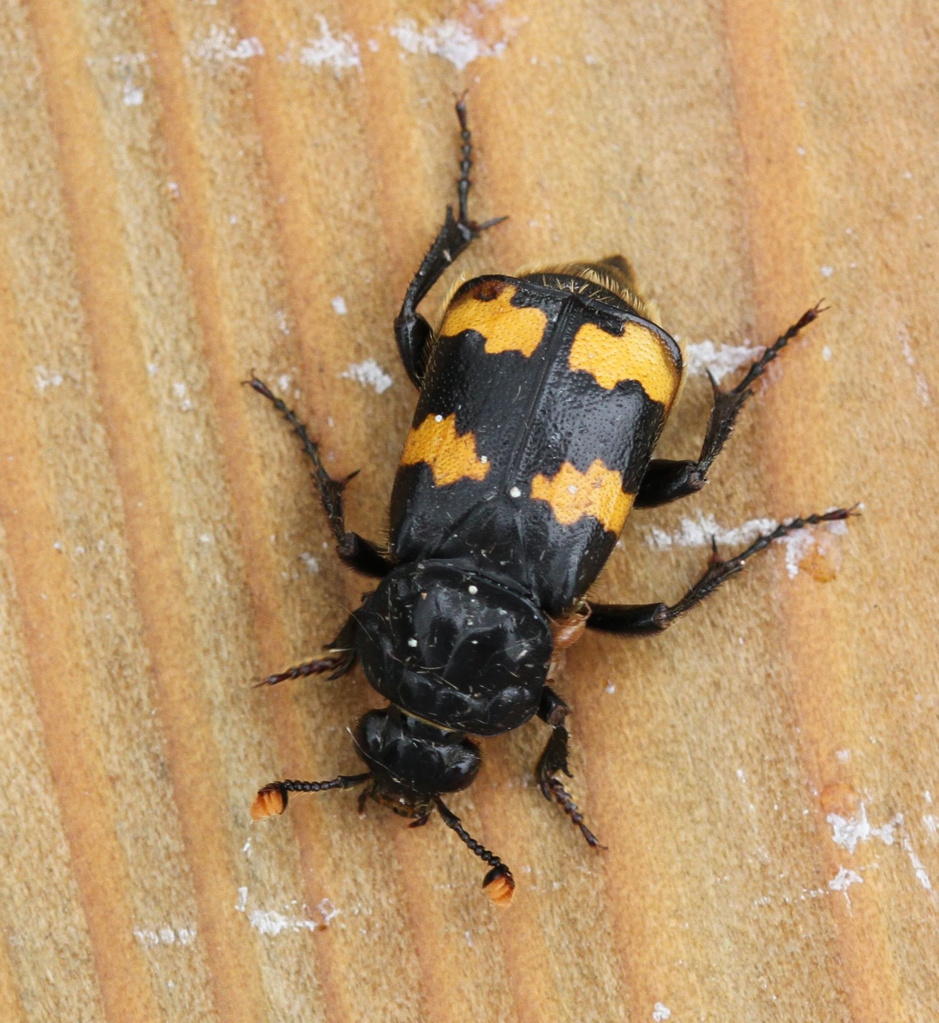 Image of Burying beetle