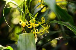 Image of <i>Apostasia odorata</i> Blume