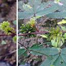 Image of <i>Mimosa polydactyla</i> Willd.