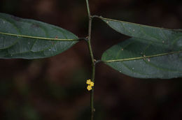 Image of <i>Microdesmis caseariifolia</i> Planch. ex Hook.