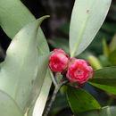 Image of <i>Rhodoleia parvipetala</i> Tong