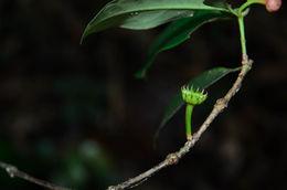 Image of <i>Illicium parvifolium</i> Merr.