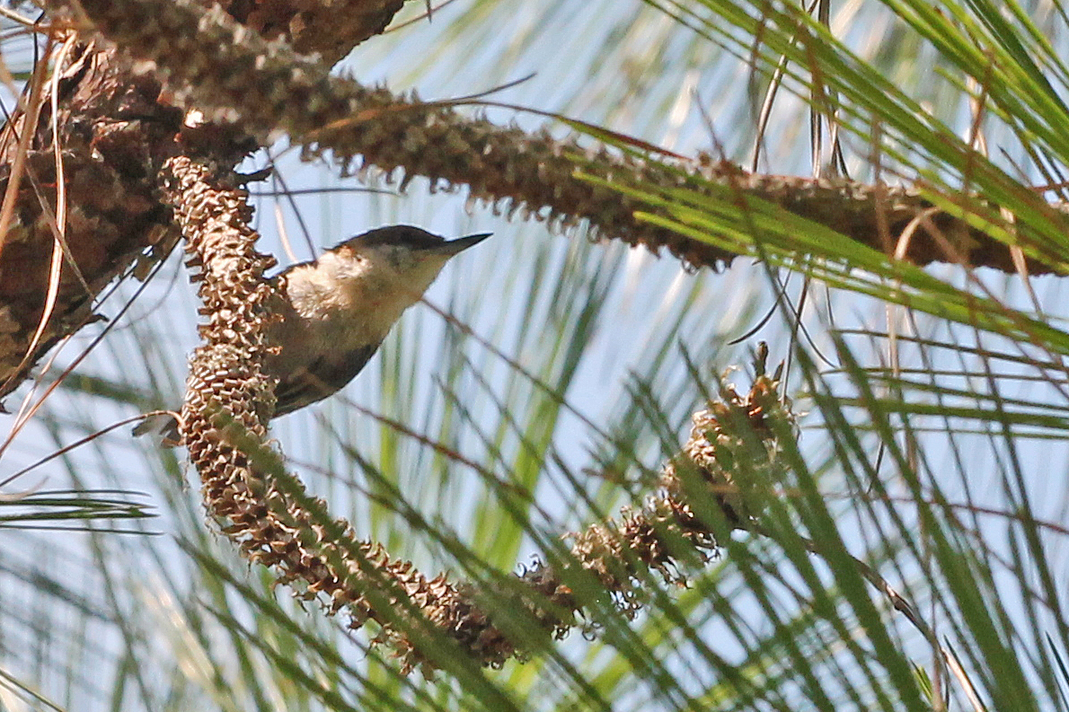 Image of Brown-headed nuthatch