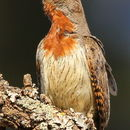 Image of Red-throated Wryneck