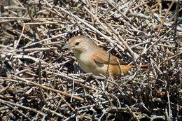 Image of Little Thornbird