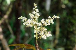 Image of <i>Meliosma dumicola</i> W. W. Sm.