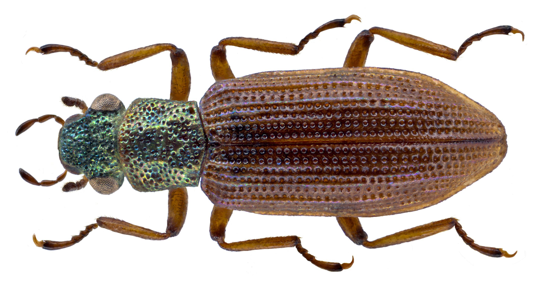 Image of <i>Hydrochus flavipennis</i> Küster 1852