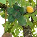 Image of Mountain papaya