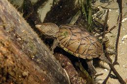 Image of Loggerhead Musk Turtle