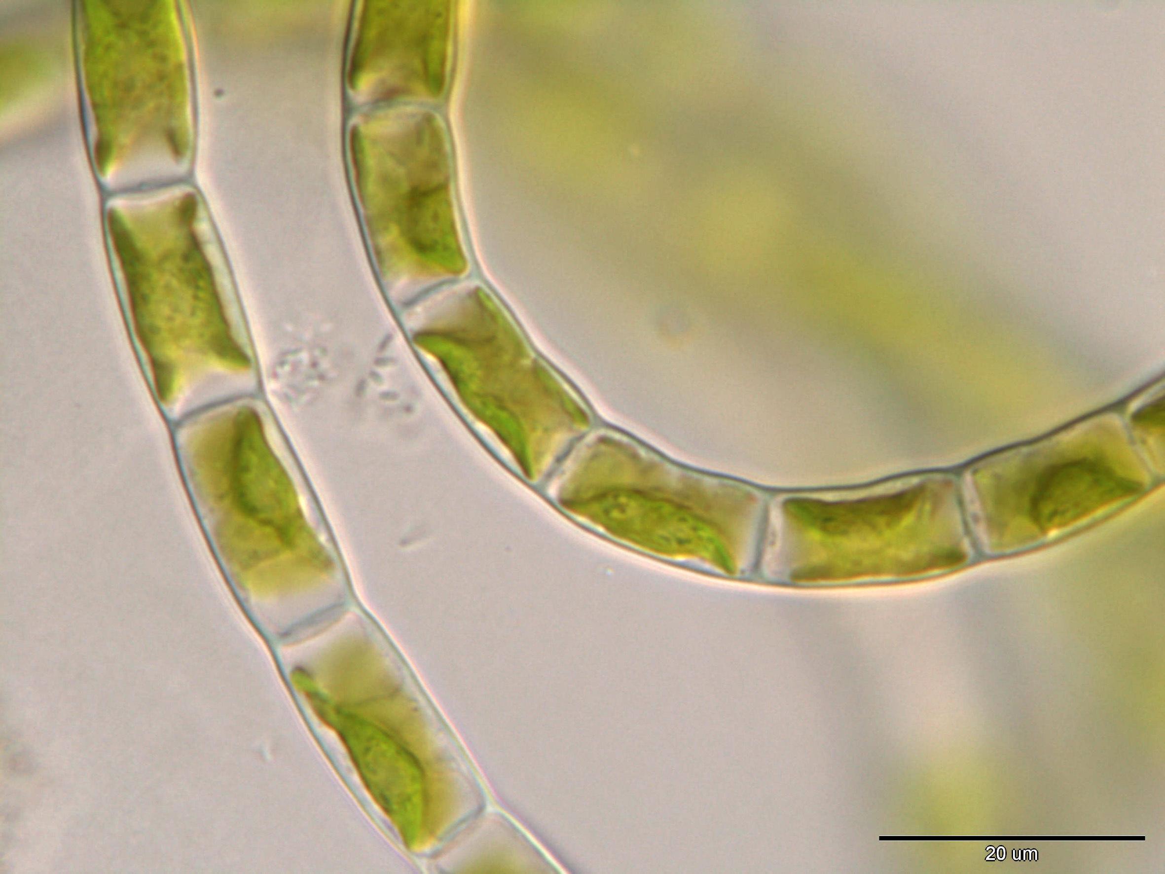Image of <i>Klebsormidium bilatum</i>