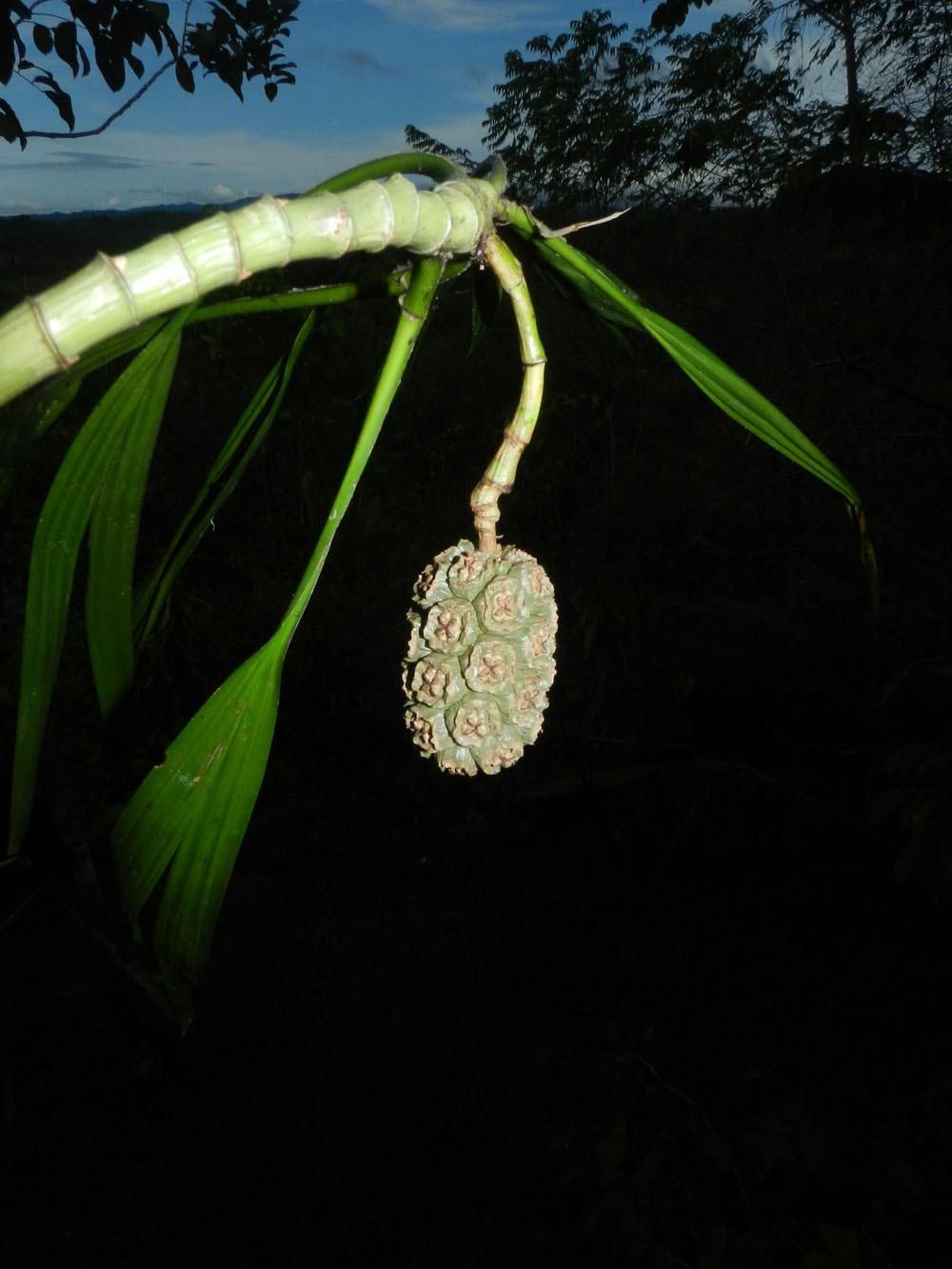 Image of <i>Thoracocarpus bissectus</i> (Vell.) Harling