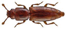 Image of Graveyard Beetle