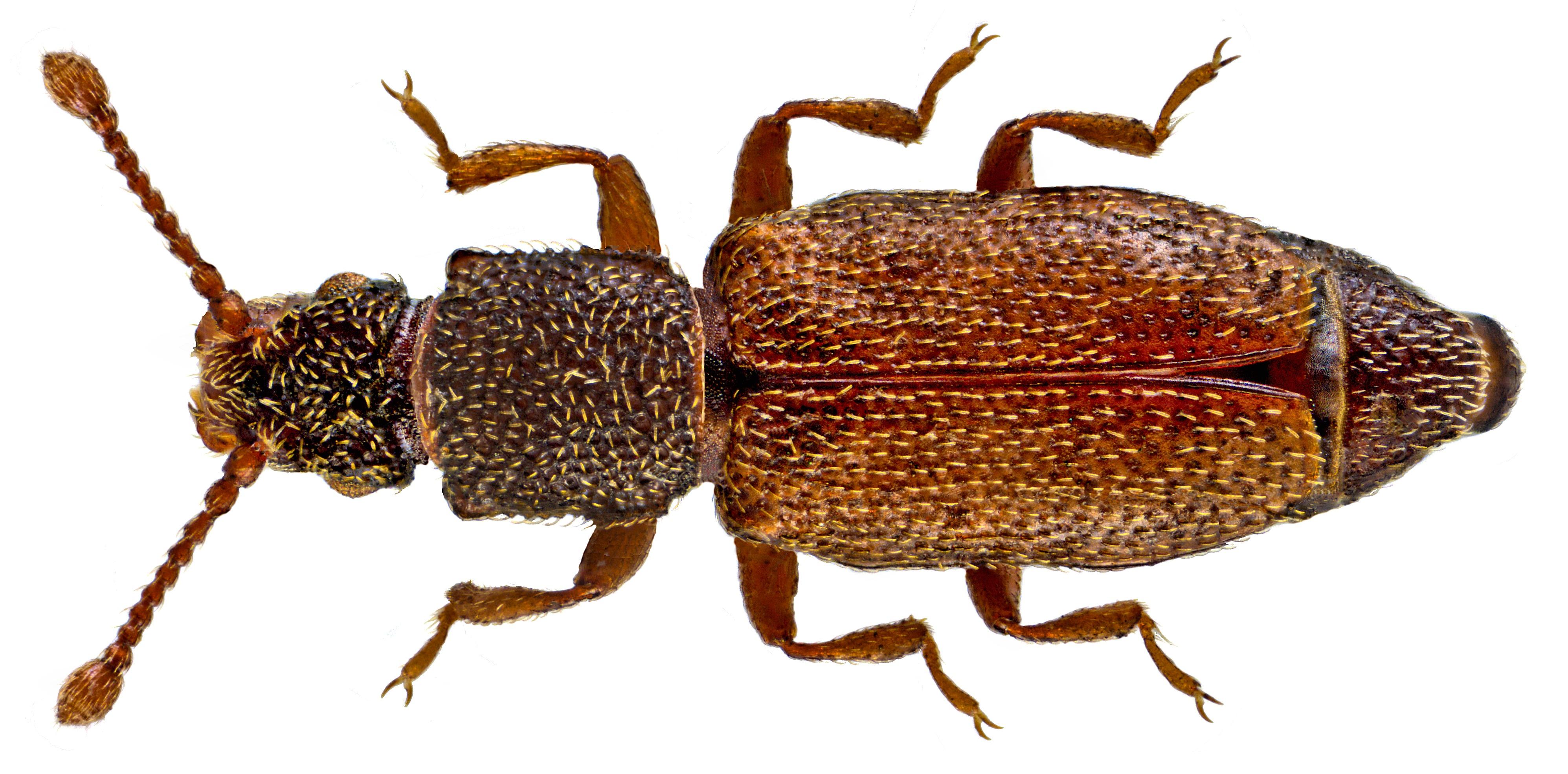 Image of <i>Monotoma bicolor</i> A. Villa & G. Villa 1835