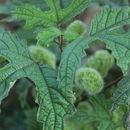 صورة <i>Girardinia diversifolia</i> (Link) Friis