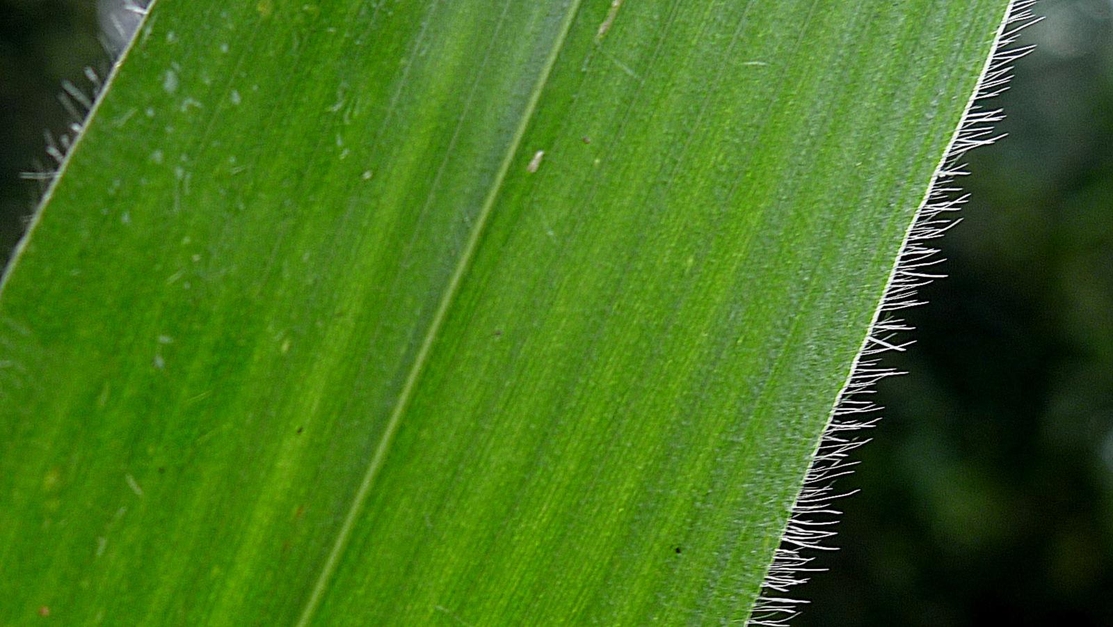 Image of plains bristlegrass
