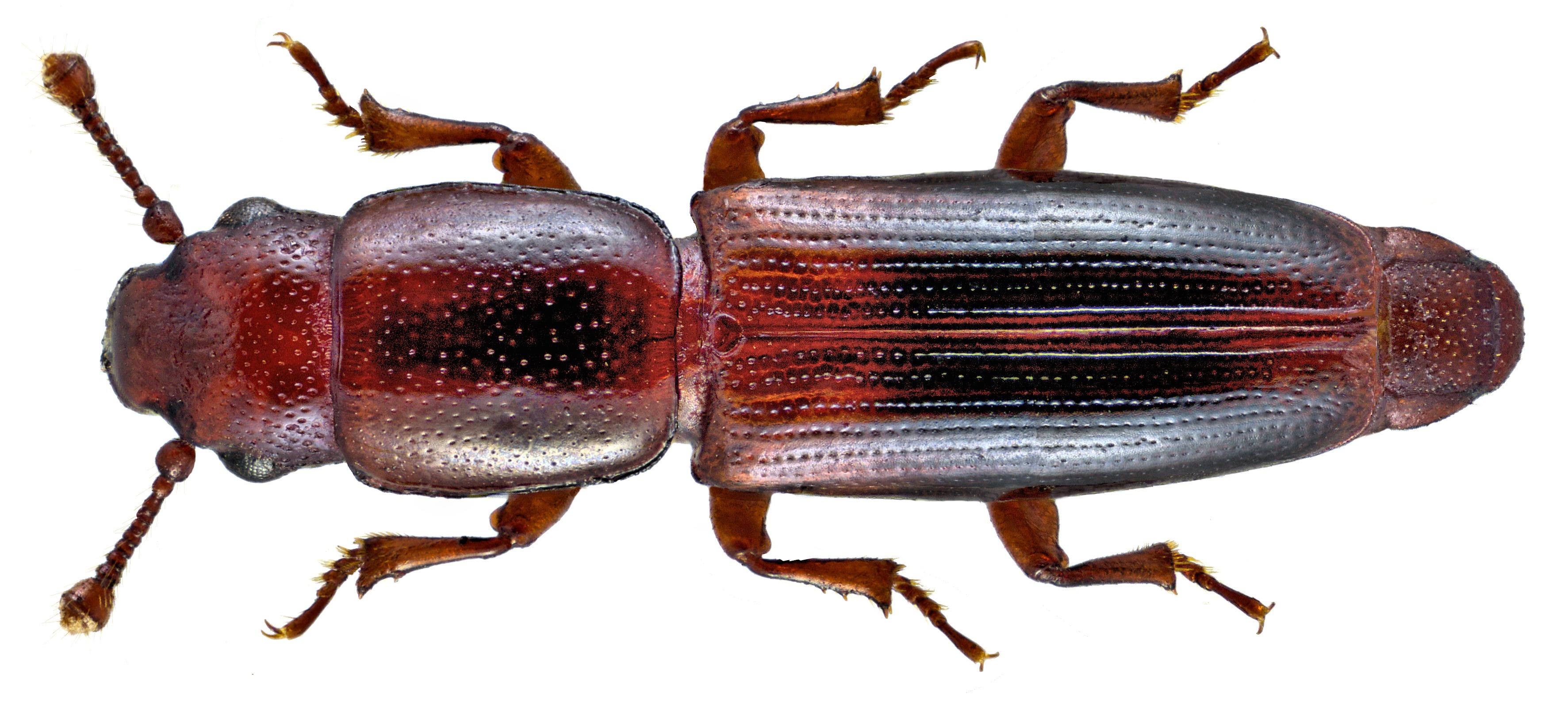 Image of <i><i>Rhizophagus</i></i> (Rhizophagus) <i>nitidulus</i> Fabricius 1798