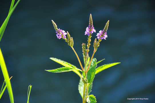 Image of blue vervain