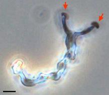 Слика од <i>Mariprofundus ferrooxydans</i>