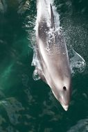 Image of White-beaked Dolphin