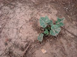 Image of <i>Cucurbita foetidissima</i> Kunth