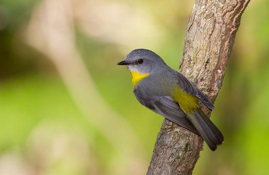 Image of Eastern Yellow Robin