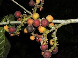 Image of Pubescent Sorocea (tree)