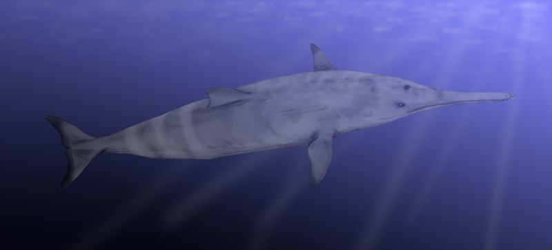 Image of <i>Squalodon calvertensis</i> Kellogg