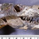 Image of <i>Thrinaxodon liorhinus</i> Seeley 1894