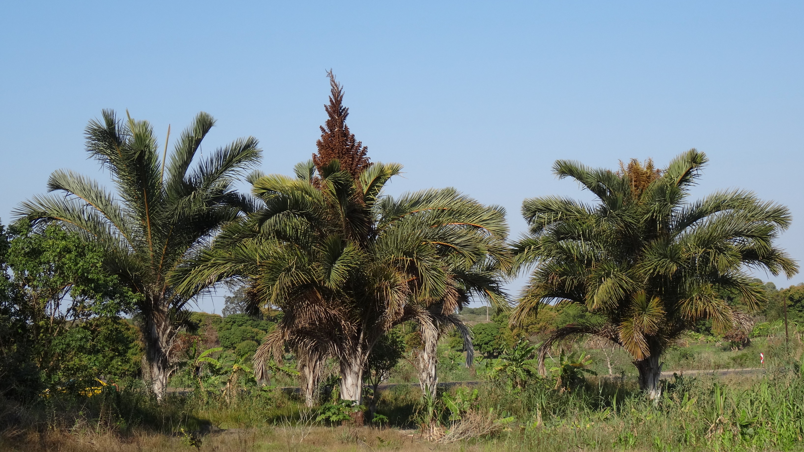 Image of Giant Palm