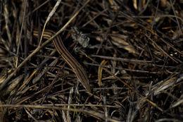 Image of Burton's legless lizard