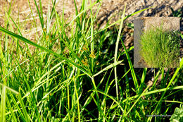 Image of <i>Cyperus esculentus</i> var. <i>heermannii</i>