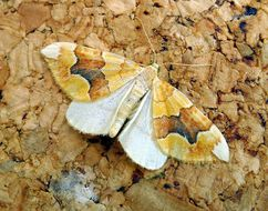 Image of Barred Yellow