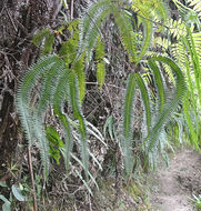 Image of Tropical Forked Fern