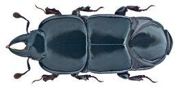 Image of <i><i>Hololepta</i></i> (Hololepta) <i>elongata</i> Erichson 1834