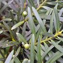Image of <i>Podocarpus sprucei</i> Parl.