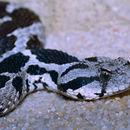 Image of <i>Macrovipera mauritanica</i>
