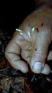 Image of <i>Gymnosiphon divaricatus</i> (Benth.) Benth. & Hook. fil.