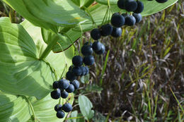 Image of smooth Solomon's seal