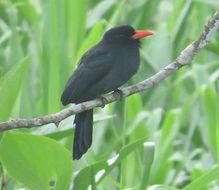 Image of Black-fronted Nunbird