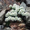 Image of <i>Noccaea montana</i>