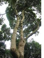 Image of <i>Aegiphila ferruginea</i> Hayek & Spruce