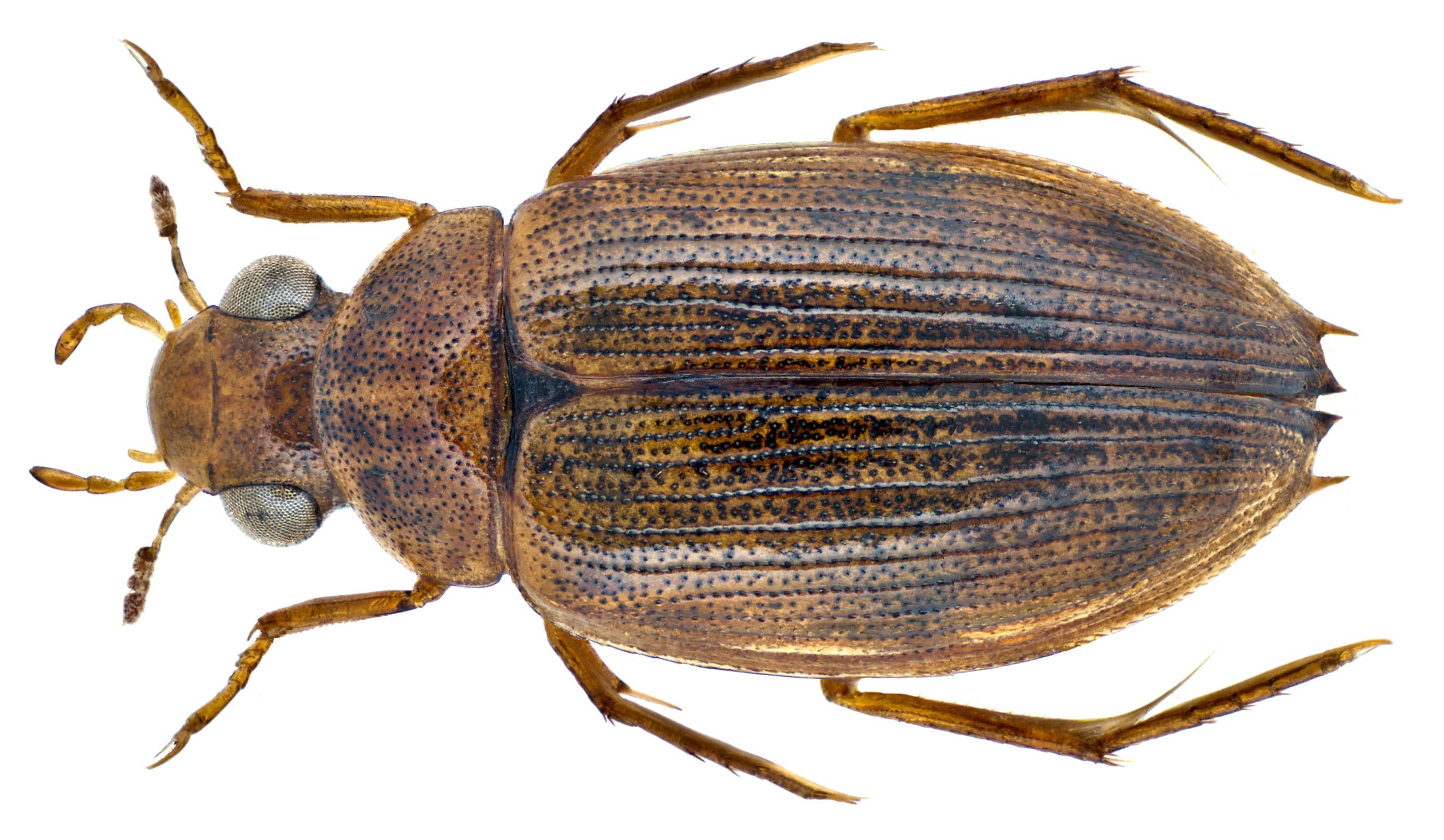 Image of <i>Berosus incretus</i>