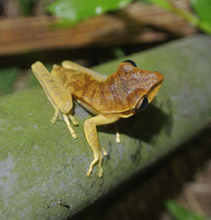 Image of Basin treefrog