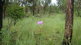 Image of <i>Epistephium sclerophyllum</i> Lindl.