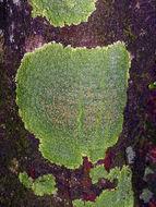 Image of bowl lichen