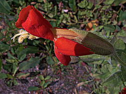 Image of scarlet monkeyflower