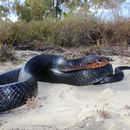 Image of Eastern Indigo Snake