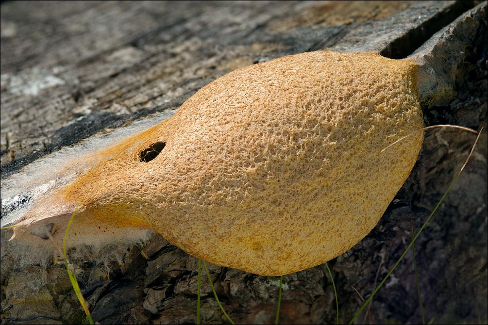 Image of Dog Vomit Slime Mold
