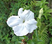 Image of <i>Escobedia grandiflora</i> (L. fil.) Kuntze